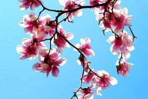 magnolia qui fleurit au printemps