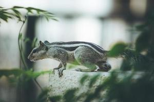 écureuil noir et blanc