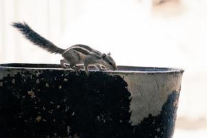 écureuil gris sur un bol