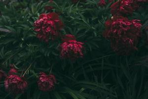 gros plan, de, fleurs rouges, à, feuilles vertes
