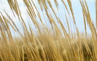 gros plan, de, blé, dans, a, champ photo