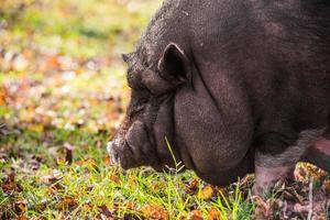 porc noir mangeant de l'herbe
