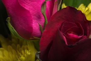 gros plan de belles roses rouges