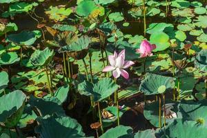 étang de lotus pendant la journée