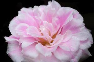 Macro fleur de portulaca oleracea
