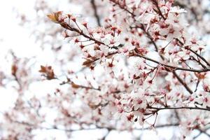 abricotier en fleurs