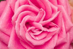 rose avec la rosée du matin photo