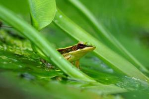 grenouille verte dans un étang photo