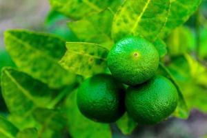 limes fraîches sur une branche