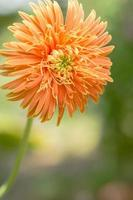 Gros plan de fleur de gerbera orange