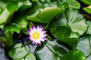 beau nénuphar violet
