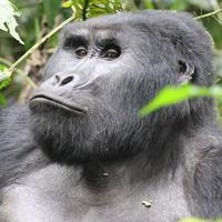 gros plan, de, a, gorille de montagne photo