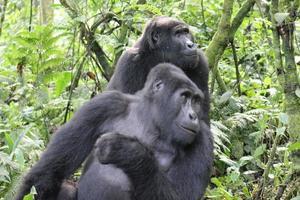 deux gorilles de montagne dans une forêt photo