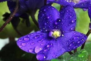 violette africaine photo