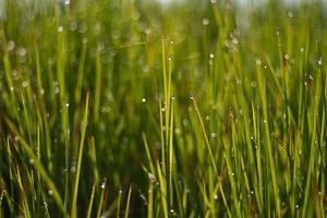herbe verte fraîche avec gros plan de goutte de rosée. fond de nature photo