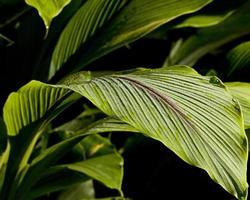 grenouille sur feuilles de gingembre mouillées de rosée photo