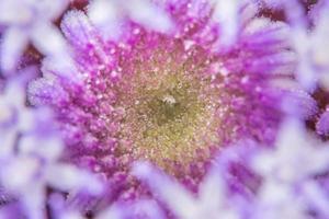 macro fleurs violettes photo