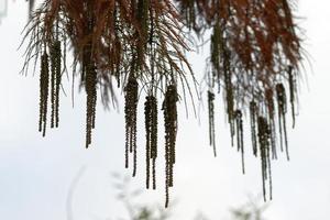 branche de conifère avec des fruits et des feuilles rouillées pendant