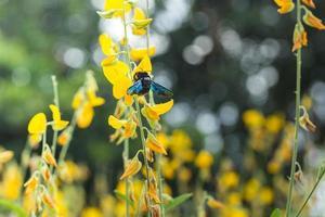 bourdon sur une fleur jaune photo