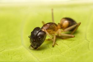 macro fourmi brune