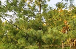 essences de pin avec de longues aiguilles