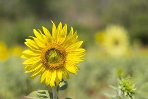un beau tournesol flou dans un champ