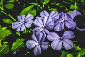 fleurs botaniques violettes lavande photo