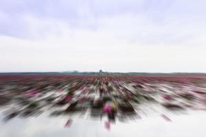 champ de lotus flou
