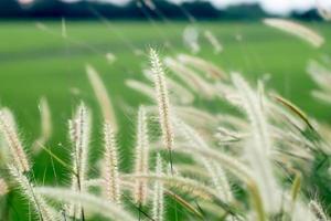 mise au point sélective des hautes herbes sauvages photo