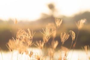 un beau champ d'herbe de blé doré photo