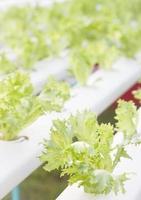 Plantes d'icebergs verts dans une ferme hydroponique