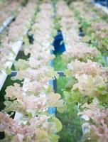 Plants de chêne rouge sur ferme hydrophonique photo