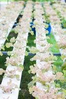 plants de chêne rouge dans une serre photo