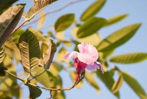 rose rose dipladenia à l'extérieur