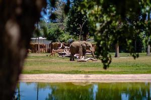 Fresno, CA, 2020 - éléphant gris sur un champ d'herbe