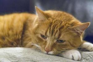 Chat tigré orange sur un coussin photo