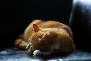 chat tigré orange endormi