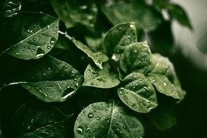 Mise au point sélective de la plante feuille verte avec rosée photo