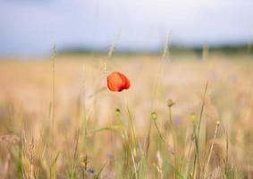 fleur rouge sur le terrain photo