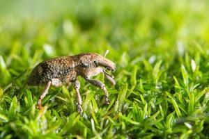 scarabée sur herbe, macro photo