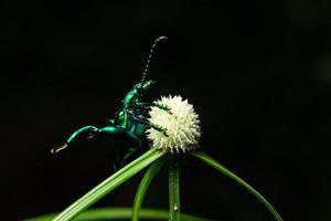 scarabée sur une fleur, macro