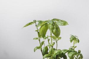 plante de basilic à l'intérieur photo