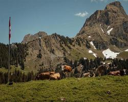 bétail sur l'herbe pendant la journée
