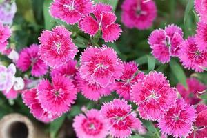 gros plan, de, fleurs roses, dans, jardin photo