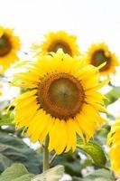 Groupe de beaux tournesols jaunes à l'extérieur photo