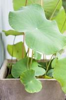Feuilles de lotus vert dans un jardin potager photo