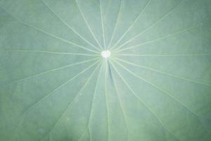 gros plan, de, a, feuille lotus photo