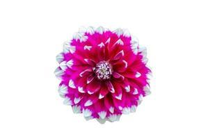 fleur de dahlia rose sur fond blanc