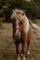 poney brun regardant droit à la caméra