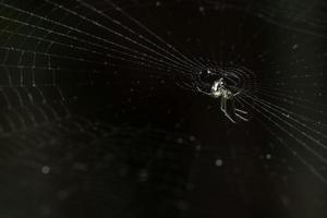 araignée, photo en gros plan